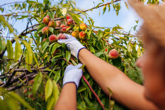 Senior woman picking ripe organic peaches in summer orchard. Farmer checking fruits on branches. Harvesting
