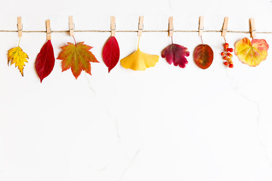 Fall concept. Top view of autumn leaves - birch, japanese maple, ginkgo, geranium, berries of barberry on string with clothespins on white marble background. Flat lay, copy space.