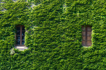 Natural background of green leaves and windows