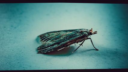 Ćma, nocny motyl, zdjęcia ultra makro