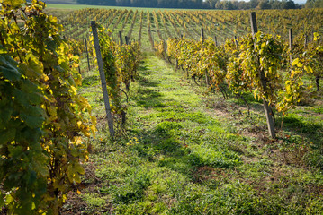 Rows of vineyard after harvesting in Slovakia. Shallow DOF. Space in right side