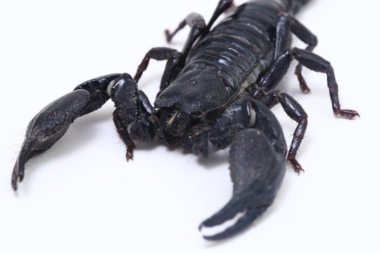 Black Asian forest scorpion (Heterometrus) Poisonous insects can be found in tropical forests in Asia isolated on a white background