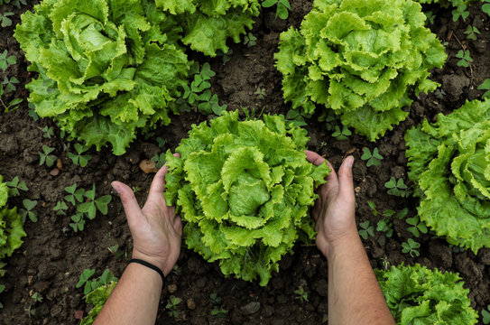 vista desde arriba de una manos cosechando lechugas verdes frescas en tierra