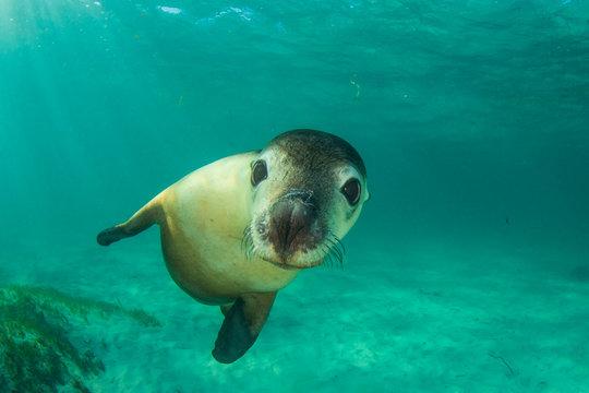Australian Sea Lion underwater photo