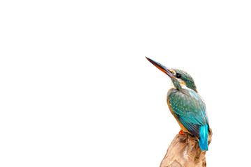 Common Kingfisher, female (Alcedo atthis) beautiful color and catch on perched a branch with isolated background Fotoväggar