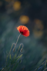 Photo sur Aluminium Poppy Red spring poppy