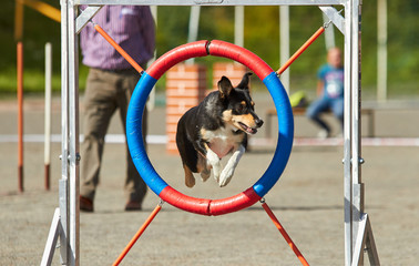 Dog jumping on an agility training tire on a dog playground. jumping through a hurdle at dog agility training. Big fur blowing in wind. Action and sports in concept.