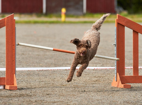 Spanish water dog jumping on an agility training tire on a dog playground.