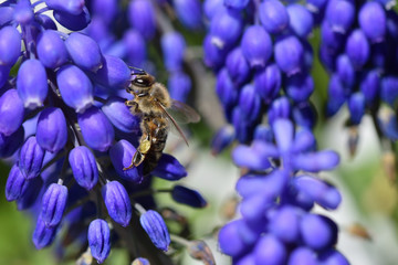 A close-up bee eats nectar on the blue muscari flowers, macro photography honeybee.
