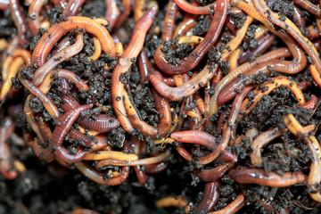 Kompostwürmer (Dendobrena Veneta)
