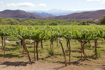 Vineyard in Cafayate along the Argentina Wine Route, Argentina