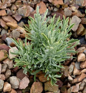 Lavendel, weissbunt-, Lavendula intermedia, Silver Edge