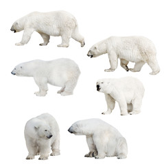 Deurstickers Ijsbeer six isolated polar bears