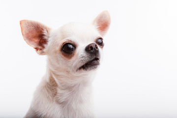Chihuahua dog. Portrait on white background Wall mural