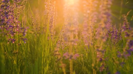 Wall Mural - Close up of warm summer sun light shining through wild grass field. Colorful nature background.