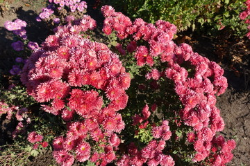 Papiers peints Azalea Salmon pink flowers of Chrysanthemum in November garden