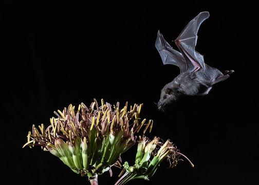 Mexican long-tongued bat at night getting nectar in Southern Arizona