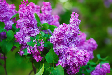 Foto auf Leinwand Flieder Purple lilac blooms in the garden. Lilac flowers with green leaves. Shallow depth of field. Selective focus.