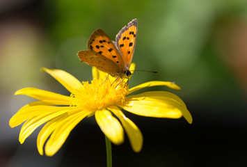Small Copper Butterfyl (Lycaena phlaeas) with wings extended resting on a yellow daisy floweragainst a natural blurred green background