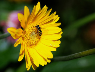Hoverfly resting on a bright yellow Gerbera Flower Stamen