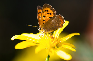 Small Copper Butterfyl (Lycaena phlaeas) resting on a yellow daisy flower