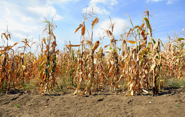 Dried corn stalks and cracked earth in hot summer drought at corn field