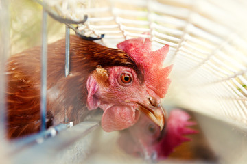 Chickens in the henhouse.Close up image of chickens in the cage. Ecological farm and free-range hens or farmyard hens