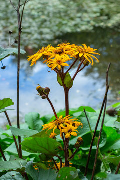Yellow flower of Ligularia dentata Desdemona by the blossom on the shore of the pond