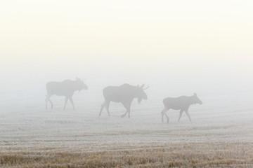 Bull moose walking on a field in autumn mist