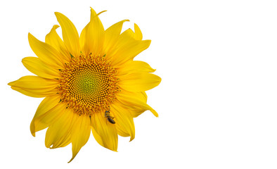 Yellow Sunflower Flower. Closeup Isolated on White Background