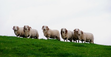 Male Sheep (Rams) on a Hill