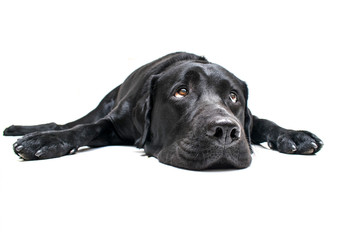 Labrador Ppreguiçoso