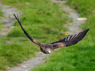 Fotoväggar - Red kite, Milvus milvus