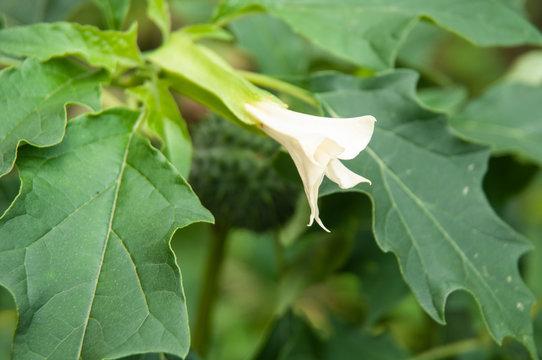 white flower of datura stramonium or jimsonweed