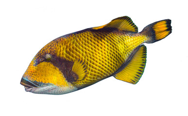 giant titan triggerfish, biggest coral reef trigger fish  isolated white background