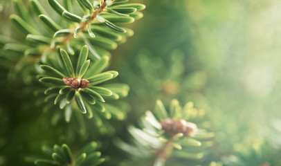 Beautiful green fir tree branches close up. Christmas and winter concept.