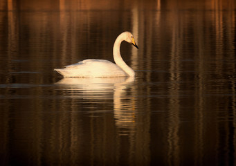 In de dag Zwaan The whooper swan (Cygnus cygnus), also the common swan.