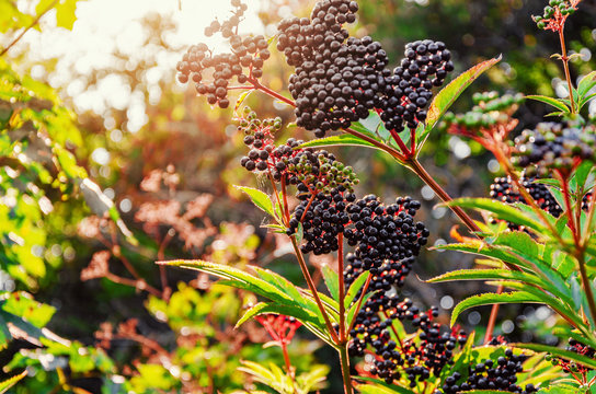 Elderberry black berries in the woods. Autumn