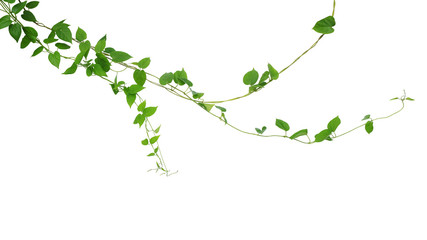 Wall Mural - Twisted jungle vines liana climbing plant with heart shaped green leaves hanging, nature frame layout isolated on white background with clipping path.