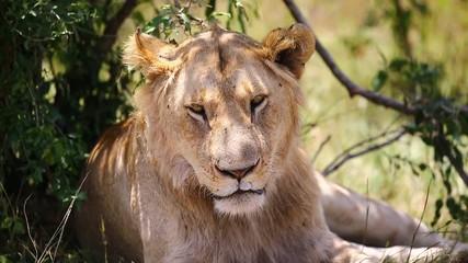 Wall Mural - Young lion lies in the bushes in the savannah. Close-up. Africa. Kenya. Tanzania. Maasai Mara National park . Serengeti.