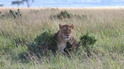 Wall Mural - Lioness lies on a small hill in the savannah. Africa. Kenya. Tanzania. Maasai Mara National park . Serengeti.