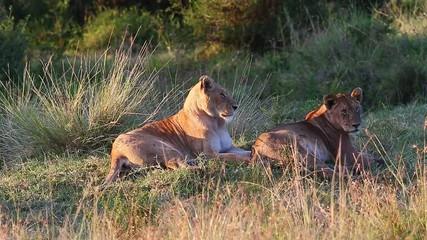 Wall Mural - Two lionesses are lying in the savannah in the early morning. Africa. Kenya. Tanzania. Maasai Mara National park . Serengeti.