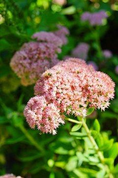 "Pink blooms of sedum ""autumn joy"" flowers in the fall"
