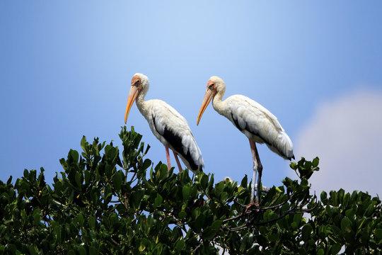 Two grey herons (Ardea cinerea) on a tree, Indonesia