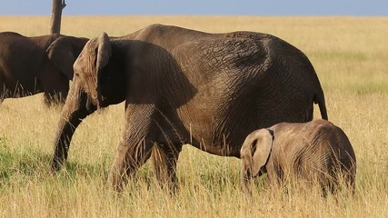 Wall Mural - Elephant; trunk; tusk; Herd of elephants; Group of elephants; Animal; large animal; wild animal; African animals; zoology; povedeie animals; fauna; African fauna; Africa; savannah; safari; photographi