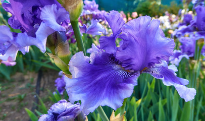 Foto op Canvas Iris Blue pink iris flowers close up in green botanical garden