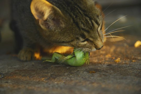 Cat eat lizard