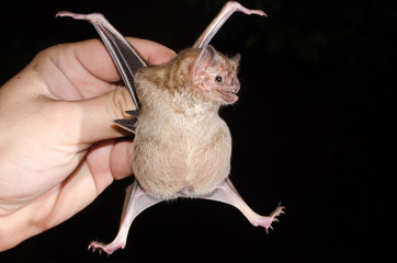 The common vampire bat (Desmodus rotundus) is a small, leaf-nosed bat native to the Americas. It is one of three extant species of vampire bat. This bat mainly feeds on the blood of livestock.