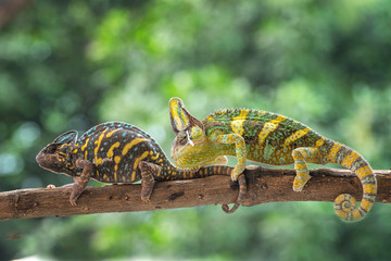 Two veiled chameleons on a branch, Indonesia