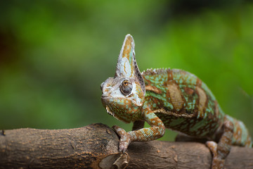 Veiled chameleon on a branch, Indonesia